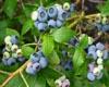 中國藍莓網專題一