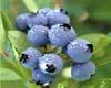 中國藍莓網專題三