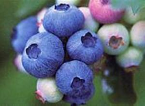 北高丛蓝莓