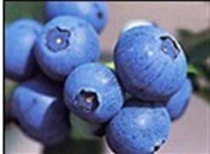 半高叢藍莓