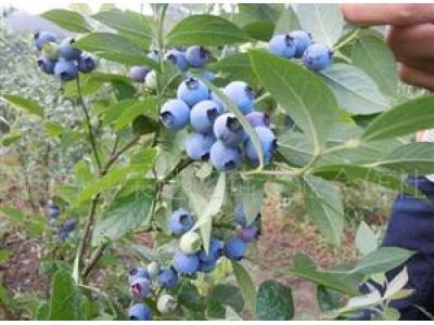 供应蓝莓苗木(南高丛系列品种)