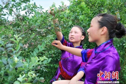 """贵州麻江蓝莓""""量产""""富翁引台商青睐"""