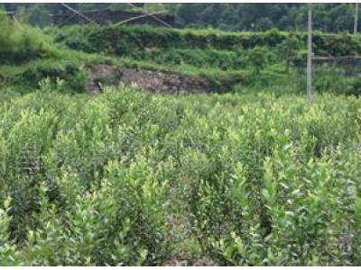 厂家批发-大量供应优质蓝莓种苗