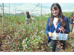 澄江冬季藍莓上市價格高