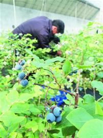 蓝莓出大棚卖出贵族价 销往京沪一斤160元(图)